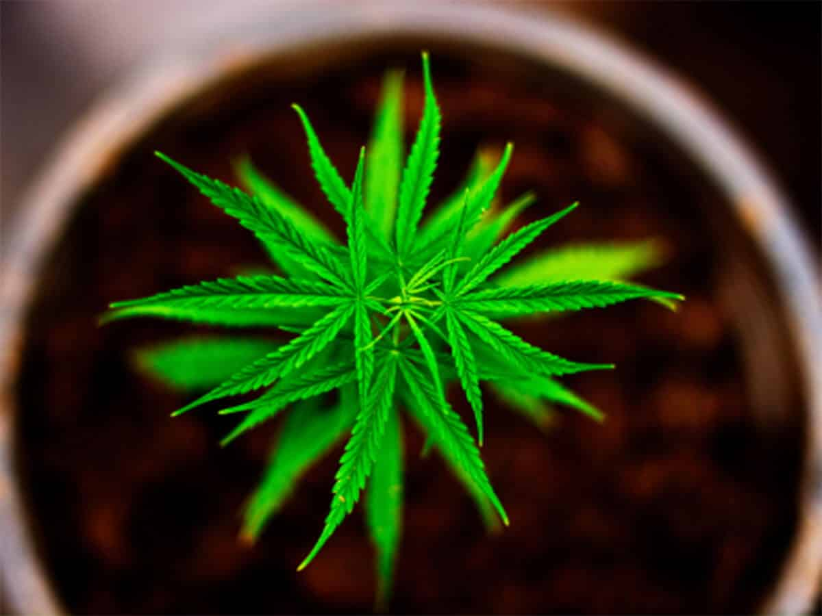 Cannabis Leaves Curling Down: What Does It Tell You?