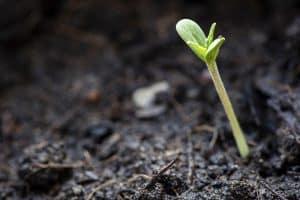 Definitive Guide to Proper Handling of Marijuana Seedlings