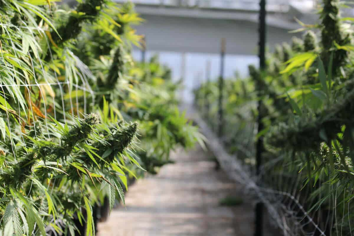 What is Super Cropping, and How Does it Help Your Cannabis