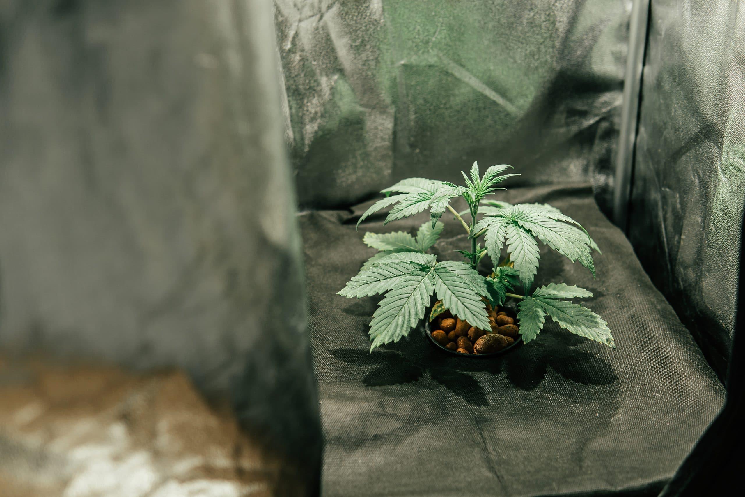 top 10 strains indoor