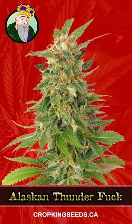Alaskan Thunder Fuck Feminized Marijuana Seeds