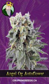 Angel OG Autoflowering Marijuana Seeds