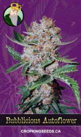 Bubblicious Autoflowering Marijuana Seeds