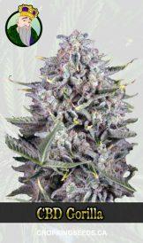 CBD Gorilla Fast Version Marijuana Seeds