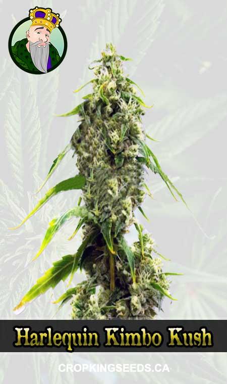CBD Harlequin Kimbo Kush Fast Version Marijuana Seed