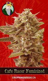 Cafe Racer Feminized Marijuana Seeds