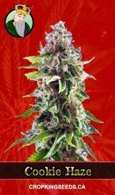Cookie Haze Feminized Marijuana Seeds