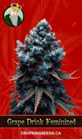 Grape Drink Feminized Marijuana Seeds