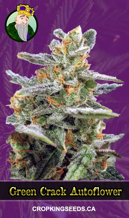 Green Crack Autoflowering Marijuana Seeds