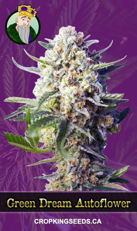 Green Dream Autoflowering Marijuana Seeds
