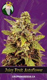 Juicy Fruit Autoflowering Marijuana Seeds