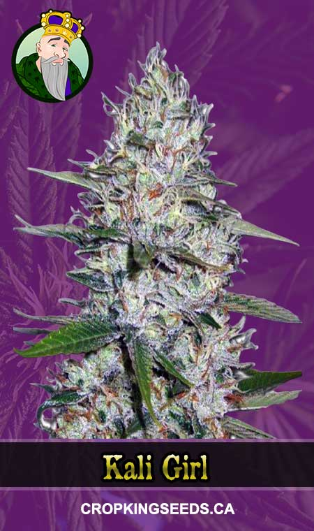 Kali Girl Autoflowering Marijuana Seeds