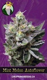 Mint Melon Autoflowering Marijuana Seeds