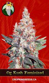 OG Kush Fem Fast Version Marijuana Seeds