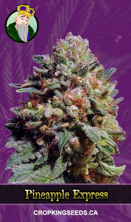 Pineapple Express Autoflowering Marijuana Seeds