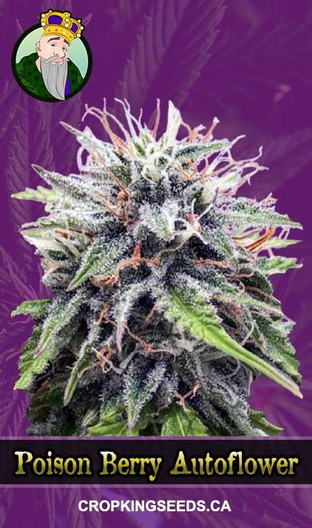 Poison Berry Autoflowering Marijuana Seeds