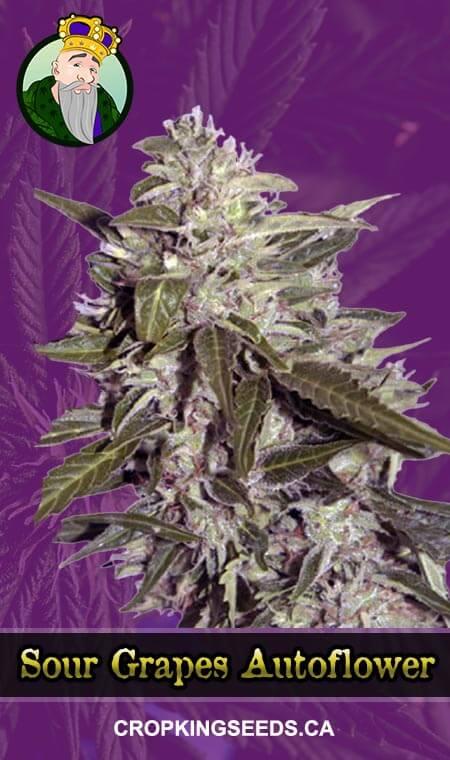 Sour Grapes Autoflowering Marijuana Seeds