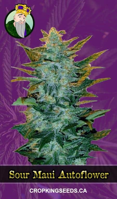 Sour Maui Autoflowering Marijuana Seeds