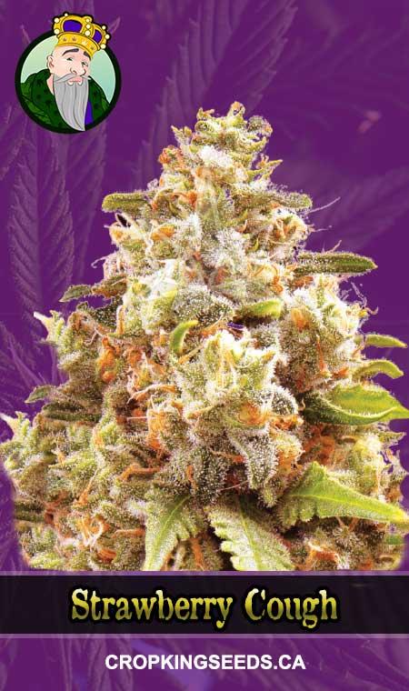 Strawberry Cough Autoflowering Marijuana Seeds