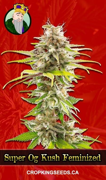 Super OG Kush Feminized Marijuana Seeds