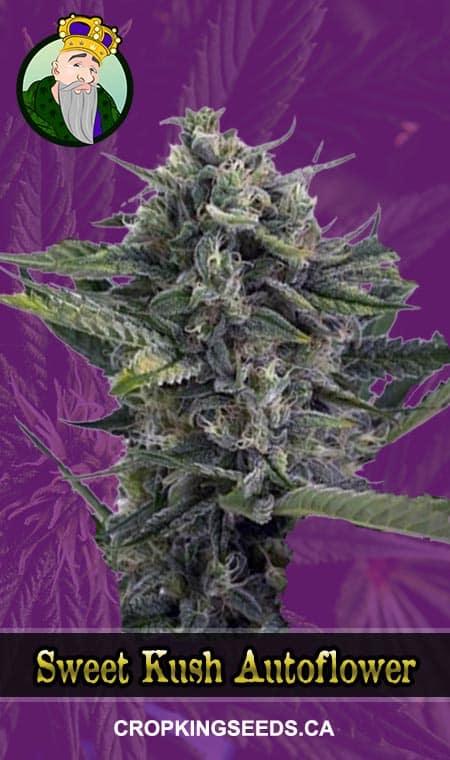 Sweet Kush Autoflowering Marijuana Seeds