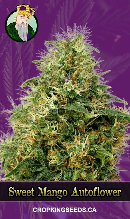 Sweet Mango Autoflowering Marijuana Seeds