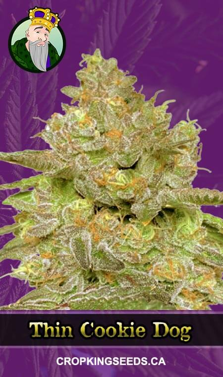 Thin Cookie Dog Autoflowering Marijuana Seeds