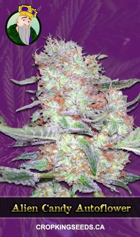 Alien Candy Autoflowering Marijuana Seeds