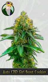 Auto CBD Girl Scout Cookies Marijuana Seeds