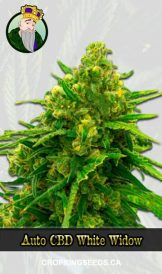Auto CBD White Widow Marijuana Seeds