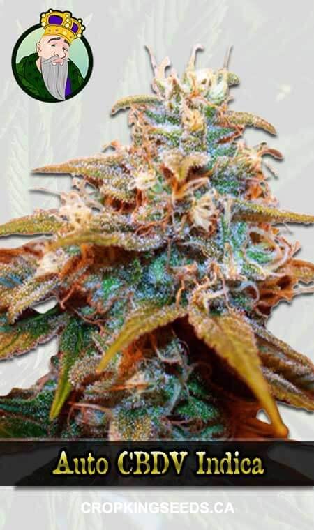 Auto CBDV Indica Marijuana Seeds