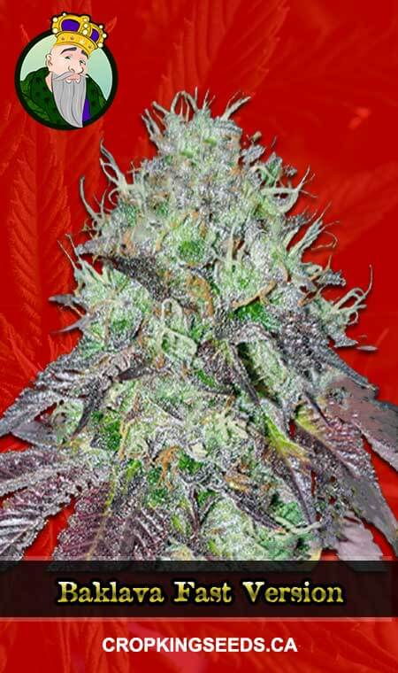 Baklava Fast Version Marijuana Seeds