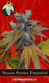 Banana Sundae Feminized Marijuana Seeds