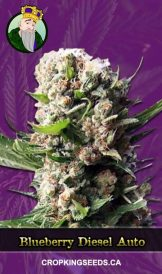 Blueberry Diesel Marijuana Seeds 162x274