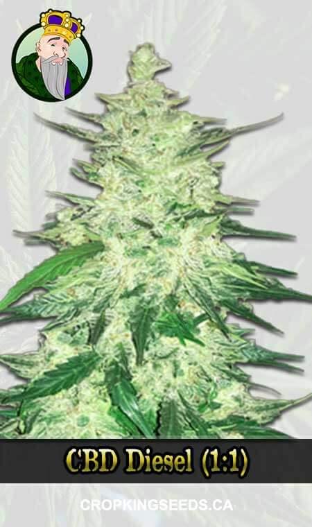 CBD Diesel (1:1) Marijuana Seeds