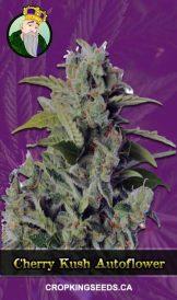 Cherry Kush Autoflower Marijuana Seeds