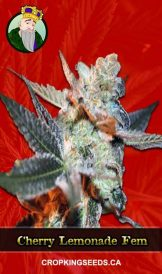 Cherry Lemonade Feminized Marijuana 162x274