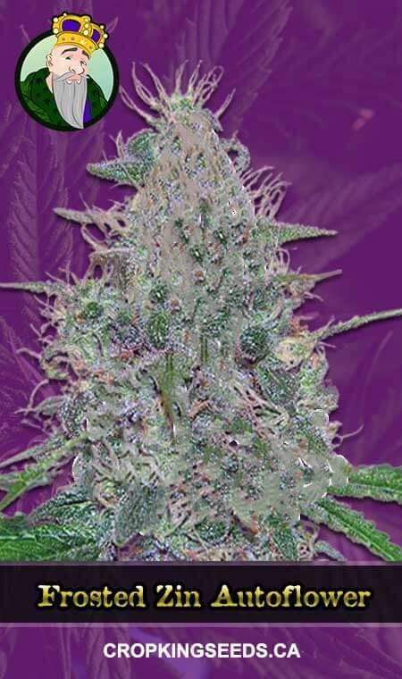 Frosted Zin Autoflowering Marijuana Seeds