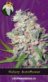 Galaxy Autoflowering Marijuana Seeds
