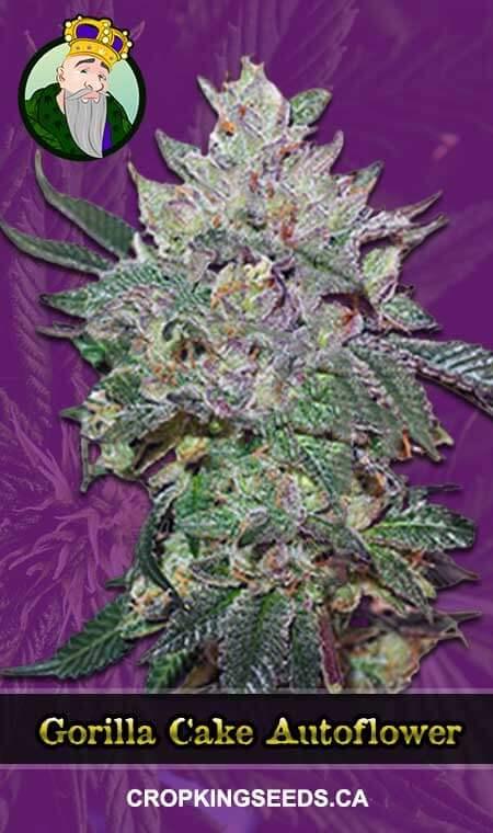 Gorilla Cake Autoflowering Marijuana Seeds