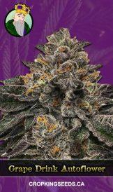 Grape Drink Autoflowering Marijuana Seeds