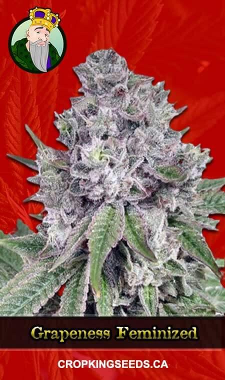 Grapeness Feminized Marijuana Seeds