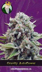 Gravity Autoflowering Marijuana Seeds