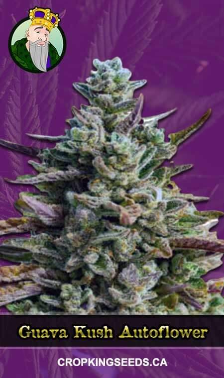 Guava Kush Autoflowering Marijuana Seeds