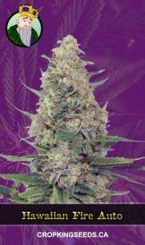 Hawaiian Fire Autoflowering Marijuana Seeds