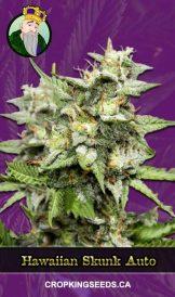 Hawaiian Skunk Autoflowering Marijuana Seeds