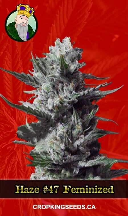 Haze #47 Feminized Marijuana Seeds