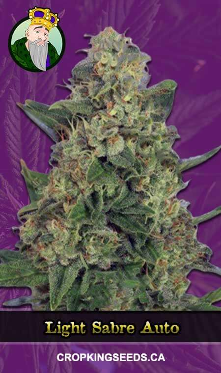 Light Sabre Autoflowering Marijuana Seeds