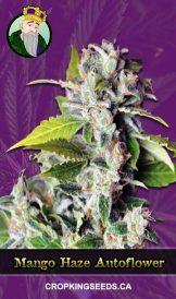 Mango Haze Autoflower Marijuana Seeds
