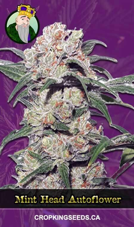 Mint Head Autoflowering Marijuana Seeds